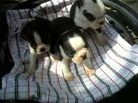 Vendo cachorros boston terrier argentina. - Animales en General - Todo Argentina