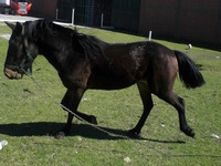 Caballo Capado  - Animales en General - Almirante Brown