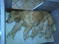 Vendos Cachorros Golden Retriever Puros - Otras Ventas - Escobar