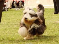 Vendo Cachorros Bearded Collie - Otras Ventas - San Antonio de Areco