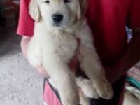 Vendo cachorros de golden retriever de 50 dias - Animales en General - Ezeiza