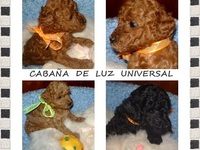 Caniches Mini Toy & Micro Toy. Excelentes - Animales en General - Belgrano