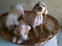CACHORROS DE POINTER INGLES - Mascotas - Almirante Brown