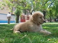 Golden Retriever - Mascotas - Cercado