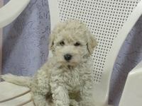 Lindo poodle toy  - poodle