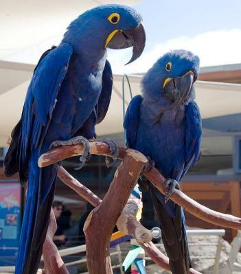 Hyacinth Macaw - Animales en General - Todo Chile