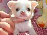 Cachorros Chihuahua Disponibles - Animales en General - Alto Hospicio