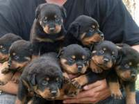 Rotweiller cachorros macho y hembra disponibles - Animales en General - Los Vilos