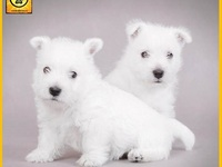 West Highland white terrier en Venta. - Mascotas - Cartagena