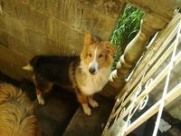 Cachorro Collie tricolor - Mascotas - Cartago