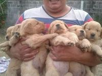 Vendo Cachorros Golden Retriever puros - Mascotas - Palmares