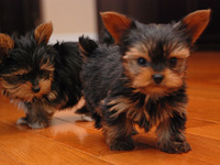 Cachorros de Yorkshire Terrier - Animales en General - Orotina