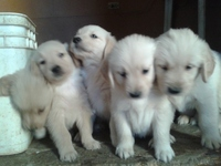 Cachorros Golden Retriever - Compras en General - Santa Ana