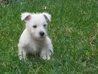 Cachorros West Highland White Terrier (westies) en Costa Rica - Mascotas - Santa Ana