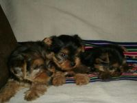 VENDO CACHORRITO YORSHIRE TERRIE - Animales en General - Guayaquil