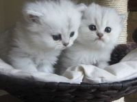 Chinchilla Classic Cream / gatitos persas blancos - Animales en General - Barcelona