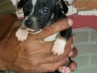 VENDO CACHORRO CHIGUAGUA, PURO, MINI, MACHO - Mascotas - Distrito Central