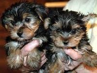 Regalo Cachorros Toy, Yorkshire Terrier - Animales en General - Gustavo A. Madero