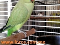 Perico de collar - Animales en General - Queretaro