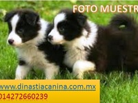 INTELIGENTES CACHORRITOS BORDER COLLIE - Mascotas - Polotitlán