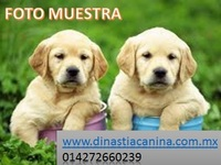AMIGABLES CACHORRITOS LABRADOR RETRIEVER - Mascotas - Polotitlán