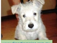TENACEZ CACHORRITOS  SCOTTISH TERRIER - Mascotas - Polotitlán