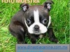 JUGUETONES CACHORRITOS BOSTON TERRIER - Mascotas - Polotitlán