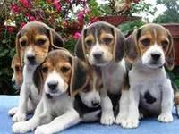 AUDACES CACHORRITOS BEAGLE - Mascotas - Polotitlán