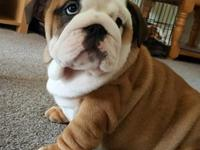 Regalo cachorros Bulldog Ingles de 11 semanas - Animales en General - Distrito Federal