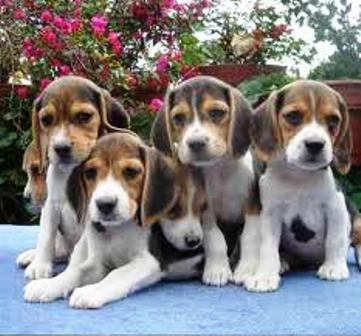 BEAGLE AUDACES CACHORRITOS  - Mascotas - Polotitlán