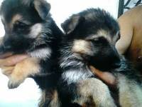 Se Venden Puppies German Shepperd - Animales en General - Todo Puerto Rico