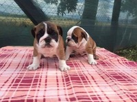 Espectaculares cachorros bulldog ingles - Animales en General - Todo Puerto Rico