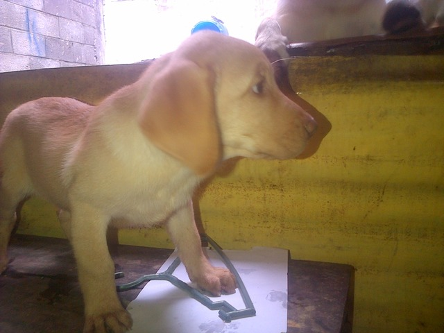Se Vende Labrador Retriever Cachorro - Animales en General - San Salvador