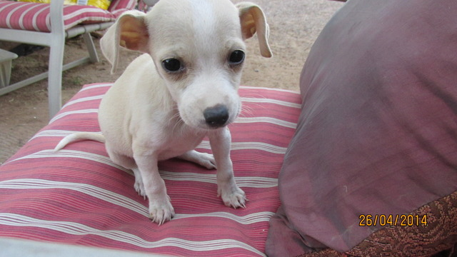 chihuahua puppy $80 - Animales en General - Phoenix