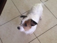 jack russell terrier purebreed - Animales en General - West Palm Beach