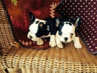 French Bull Dogs AKC - Mascotas - Kissimmee