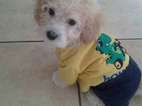 Venta de Poodles toy / toy poodles for sale - Compras en General - Moreno Valley
