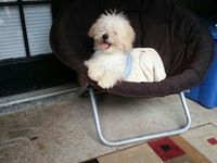 Vendo (save) perro (dog) PODER - Mascotas - Houston