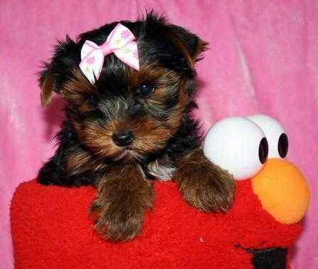 Playful and loving Yorkie puppies available - Animales en General - Alhambra