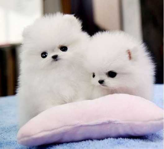 cachorros pomeranian disponibles - Animales en General - Chicago